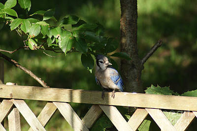 Photograph - Blue Jay At The Fence by Margie Avellino