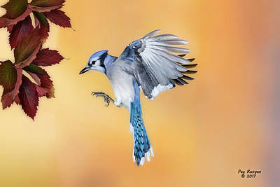 Photograph - Blue Jay Beauty by Peg Runyan
