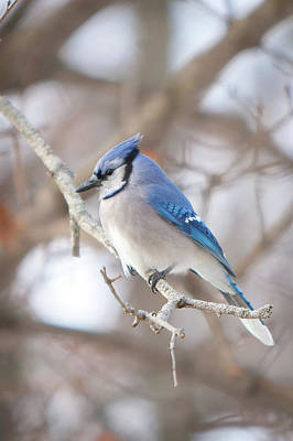 Photograph - Blue Jay by Bernard Lynch