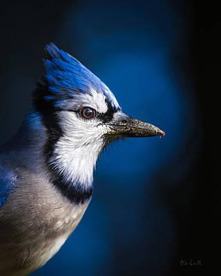 Photograph - Blue Jay by Bob Orsillo
