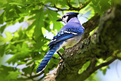 Blue Jay Art Print by Christina Rollo