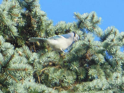 Blue Jay Colorado Spruce Art Print