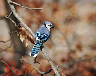 Photograph - Blue Jay by Corey Haynes