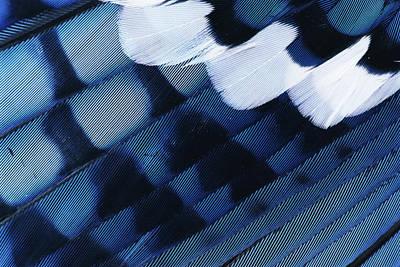 Cyanocitta Cristata Photograph - Blue Jay Cyanocitta Cristata Feathers by Rolf Nussbaumer