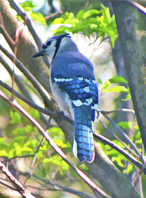 Bluejay Digital Art - Blue Jay by Daphne Sampson