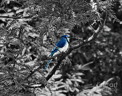 Photograph - Blue Jay by September  Stone