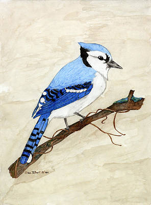 Bluejay Drawing - Blue Jay by Erica Tolbert