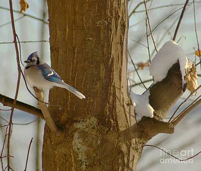 Photograph - Blue Jay by Louise Fahy