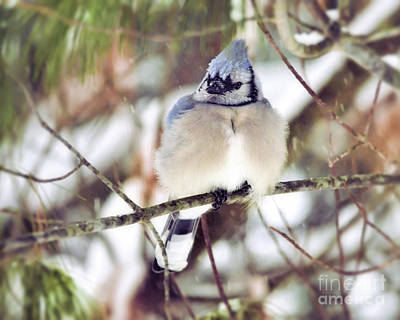 Photograph - Blue Jay - Fat And Fluffy  by Kerri Farley