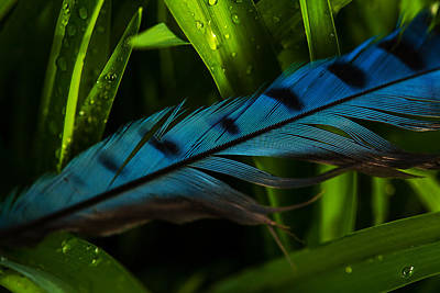 Photograph - Blue Jay Feather by Karol Livote