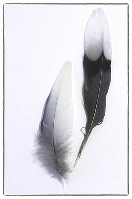 Photograph - Blue Jay Feathers by Cindi Ressler
