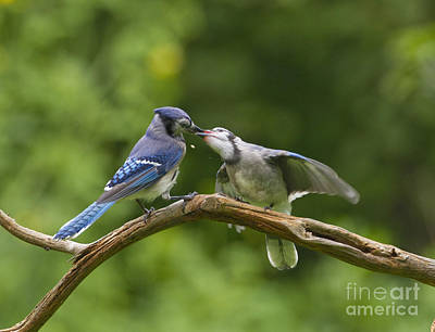 Blue Jay Feeds Young Art Print by Marie Read