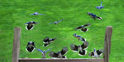 Photograph - Blue Jay Fly In by Dan Friend