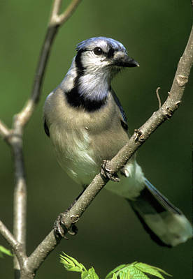 Photograph - Blue Jay For Ali 3 by Jeff Phillippi