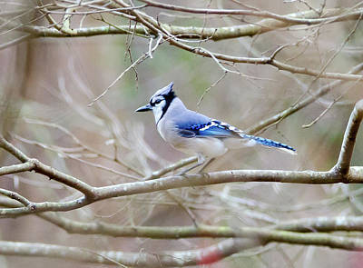 Print featuring the photograph Blue Jay by George Randy Bass