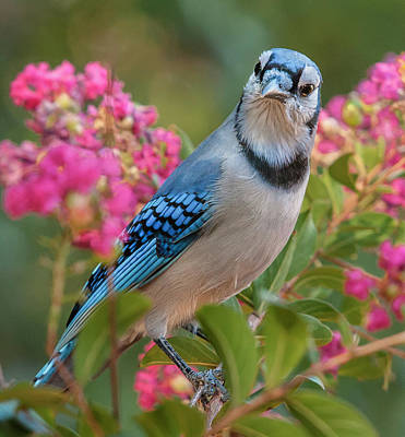 Blue Jay In Crepe Myrtle Art Print by Jim Moore