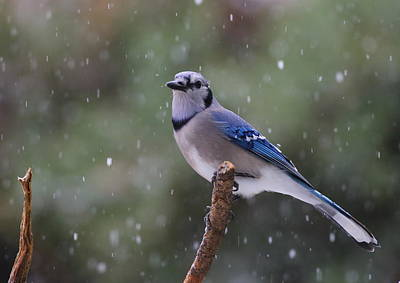 Photograph - Blue Jay In Falling Snow by Daniel Reed