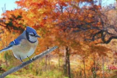 Photograph - Blue Jay In Osage County by Janette Boyd