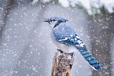 Photograph - Blue Jay In Snow Storm by Peg Runyan