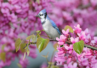 Bluejay Digital Art - Blue Jay In Spring by Nina Bradica