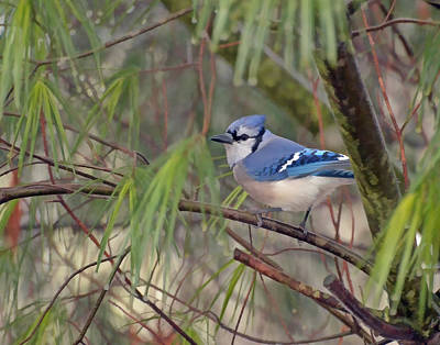 Nature Photograph - Blue Jay In The Pines by Kerri Farley