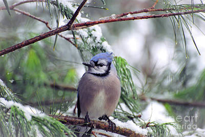 Photograph - Blue Jay In The Snow - 2 by Kerri Farley