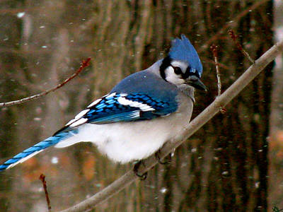Photograph - Blue Jay In The Snow by Debra     Vatalaro