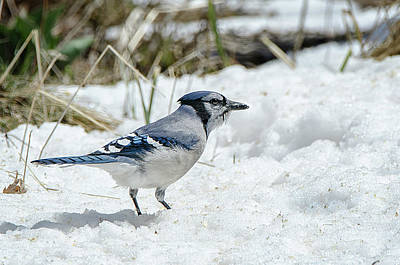 Photograph - Blue Jay In The Snow by Susan McMenamin