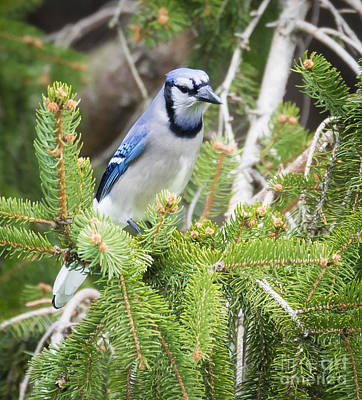 Photograph - Blue Jay In The Spring by Ricky L Jones