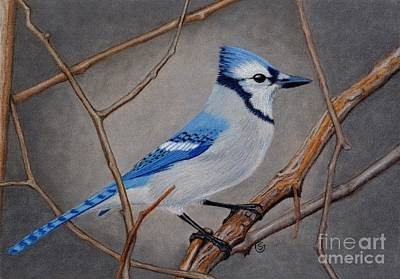 Bluejay Drawing - Blue Jay In Thicket by Sherry Goeben