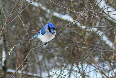 Photograph - Blue Jay In Winter by Gary Hall