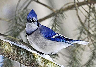 Blue Jay In Winter Art Print