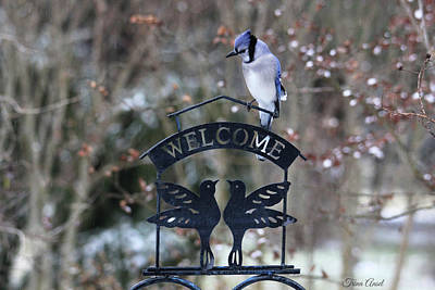 Photograph - Blue Jay Is Welcome Here by Trina Ansel