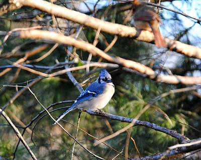 Photograph - Blue Jay by Jai Johnson