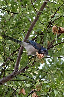 Photograph - Blue Jay by Jennifer Muller