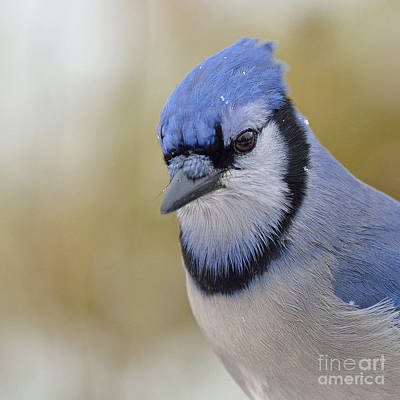 Photograph - Blue Jay by Joshua McCullough