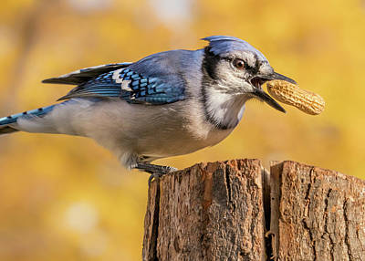 Blue Jay Photograph - Blue Jay Juggling A Peanut by Jim Hughes