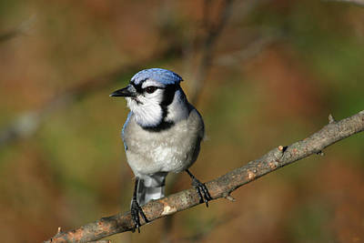 Photograph - Blue Jay by Karol Livote