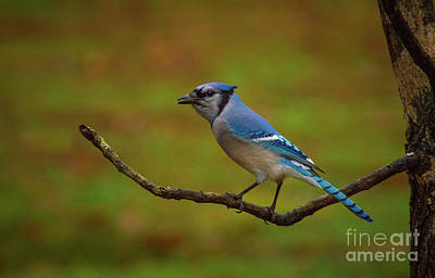 Photograph - Blue Jay by Lena Auxier