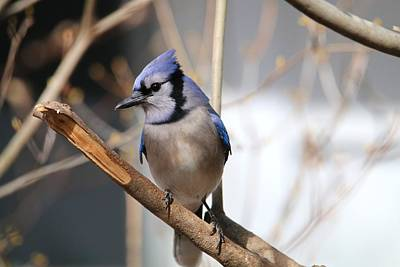 Photograph - Blue Jay by Living Color Photography Lorraine Lynch