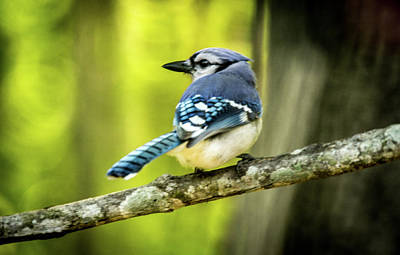 Photograph - Blue Jay Looking Over Shoulder by Douglas Barnett