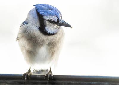 Photograph - Blue Jay by Lori Coleman