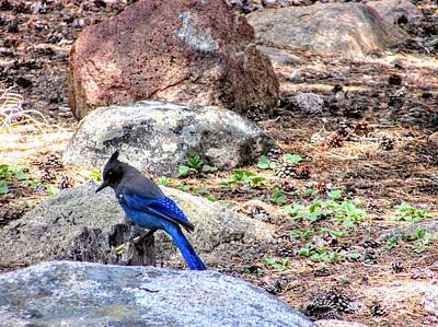 Photograph - Blue Jay by Marilyn Diaz
