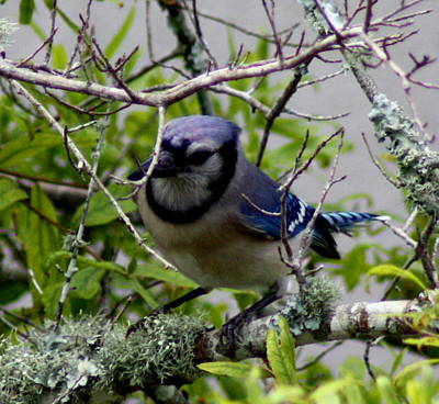 Blue Jay Art Print by Michael Albright