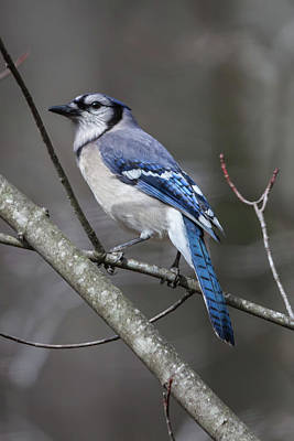 Photograph - Blue Jay On Alert by John Haldane