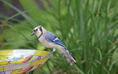 Blue Jay Photograph - Blue Jay On Birdbath 3 by Aimee L Maher Photography and Art Visit ALMGallerydotcom
