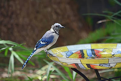 Photograph - Blue Jay On Birdbath 4 by Aimee L Maher ALM GALLERY