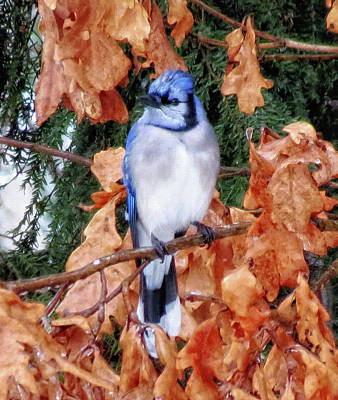Photograph - Blue Jay On Oak by MTBobbins Photography