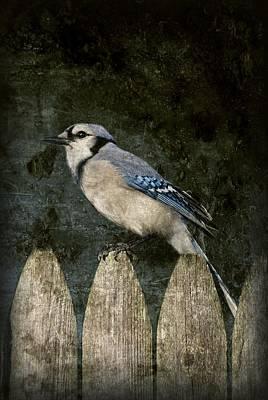 Blue Jay On The Fence Art Print