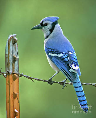 Blue Jay On The Fence Art Print